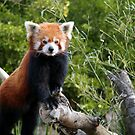 Red Panda by MagnusAgren