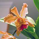 Cattleya by photorolandi