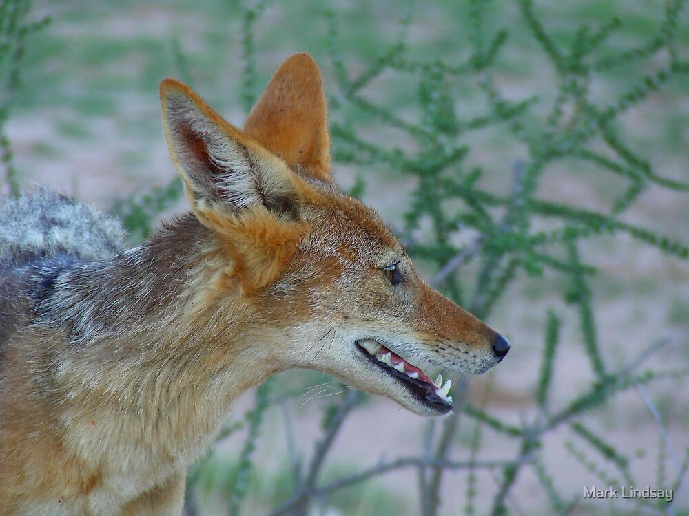 Black Backed Jackal by Mark Lindsay
