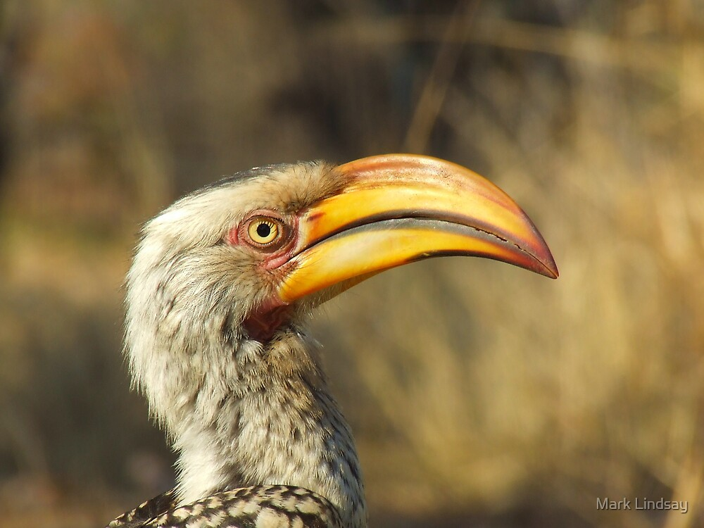 - Yellow Billed hornbill - by Mark Lindsay