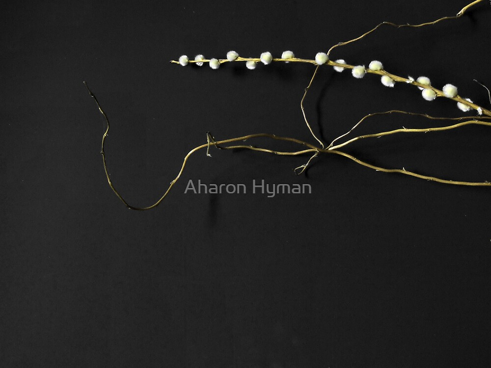 pussy willow by Allan Hyman