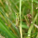 Grasshopper. by Vulcha