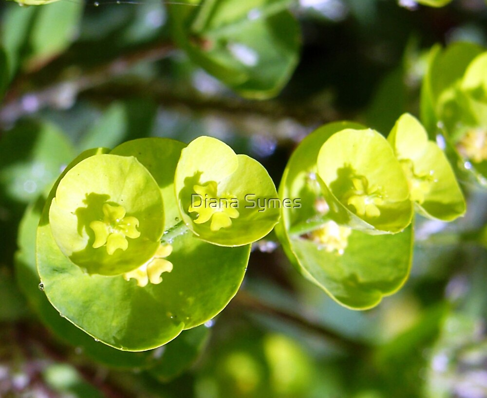 Lime by Diana Symes