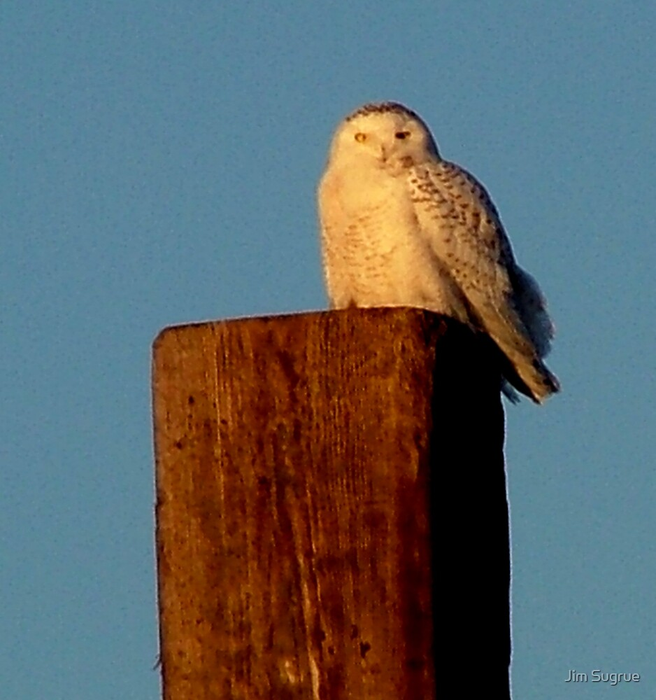 Snowy Owl by Jim Sugrue