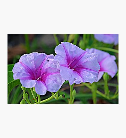 Ipomoea pes-caprae - known as bayhops, beach morning glory or goat's foot Photographic Print