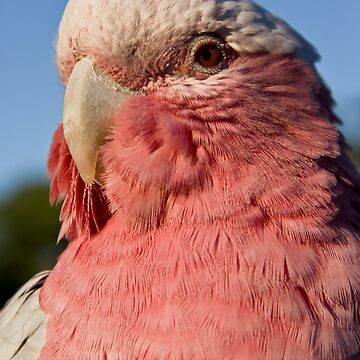Galah by MagnusAgren