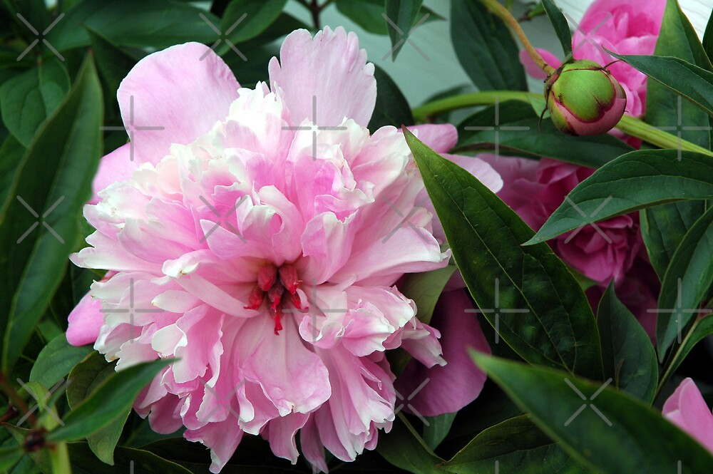 Pink Peony by Holly Werner