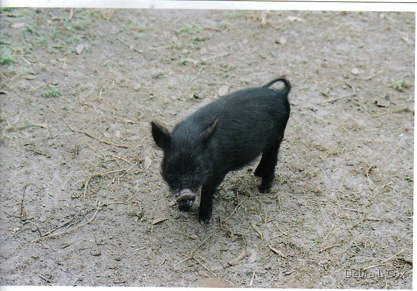 Little Black Pig by Debra L Cox