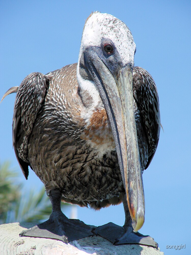 pelican face by sonygirl