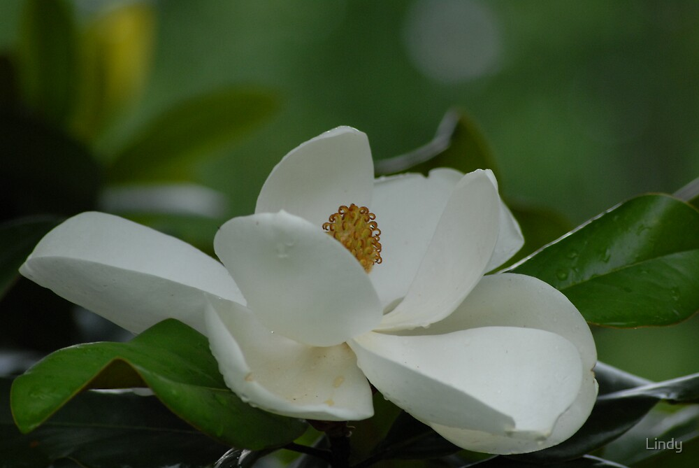 Magnolia by Lindy