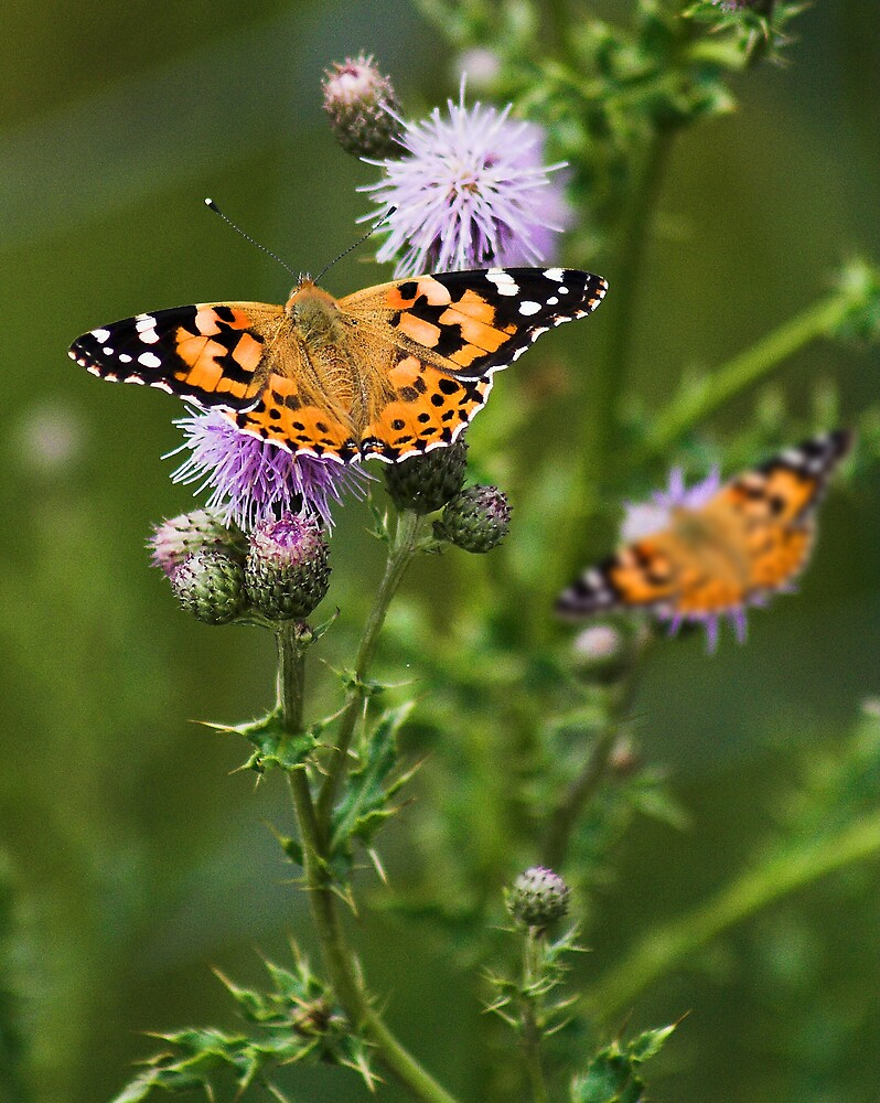 Butterflies by Moth