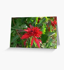 Poinsetia the scarlet bracts amazing!! Greeting Card
