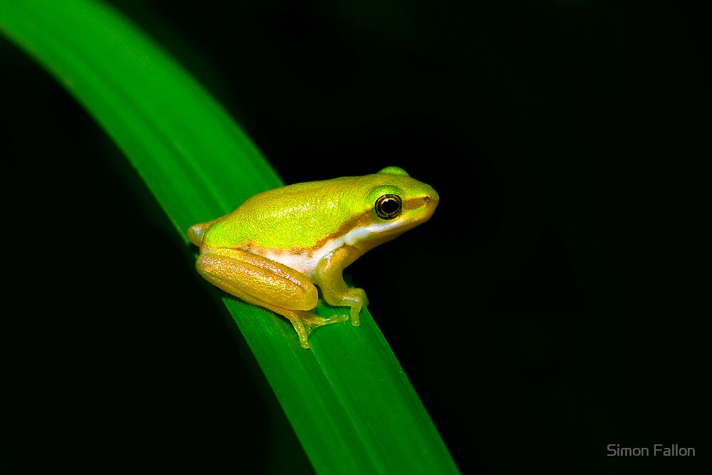 Eastern Sedge Frog by Simon Fallon