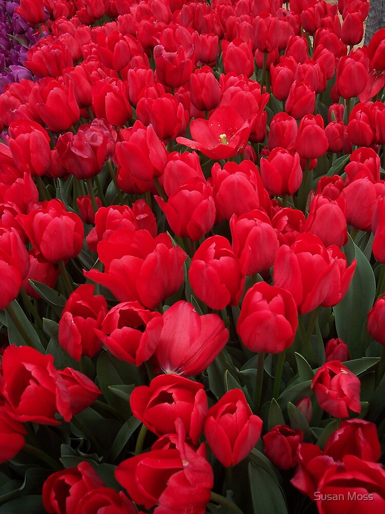 Red Tulips by Susan Moss