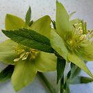 Helleborus blossomed! by Ana Belaj