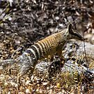 The Australian Numbat  by Rick Playle