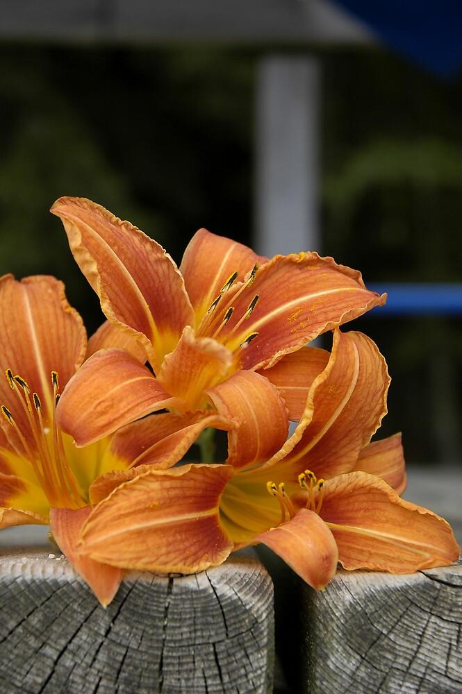 Orange Daylilies by haagenjerrys