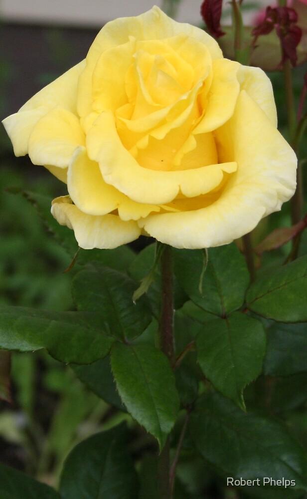 Yellow Rose by Robert Phelps