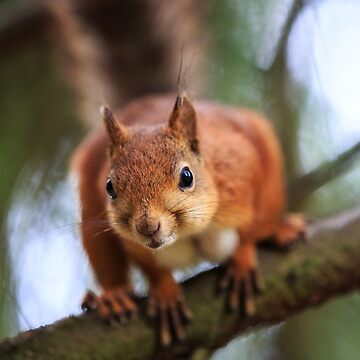 Red squirrel by neoweb