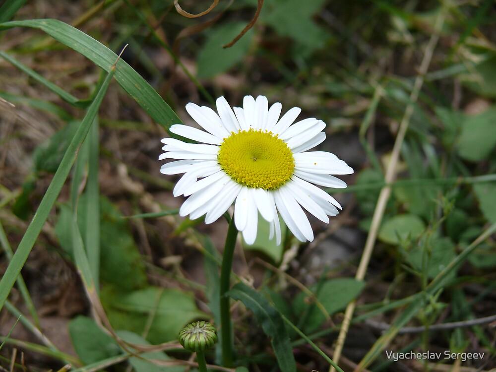 ox-eye daisy by Vyacheslav Sergeev