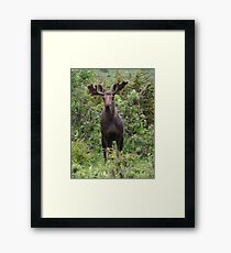 Young Bull Framed Print
