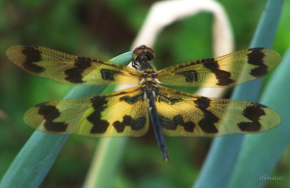Tiger Dragonfly  by mimaloo