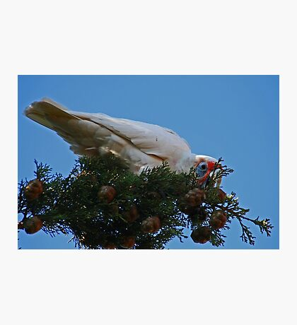 Corella Photographic Print