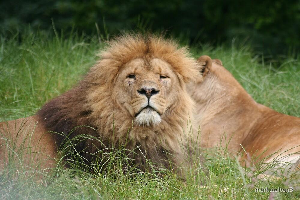 lions by markwalton3