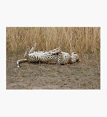 cheetah playing,and rolling over Photographic Print
