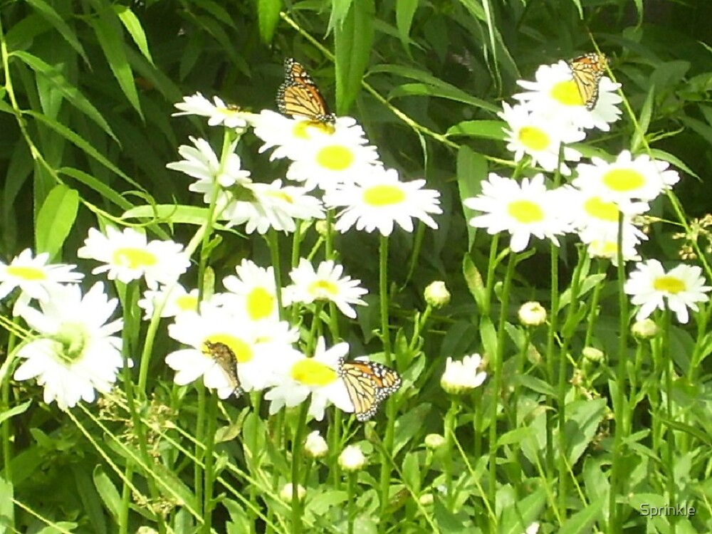 Monarch Butterflies on Daisys by Sprinkle