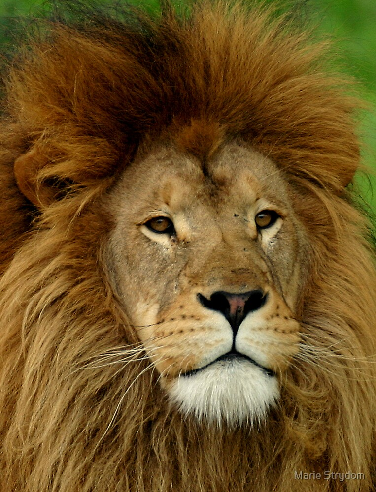 African King by Marie Strydom