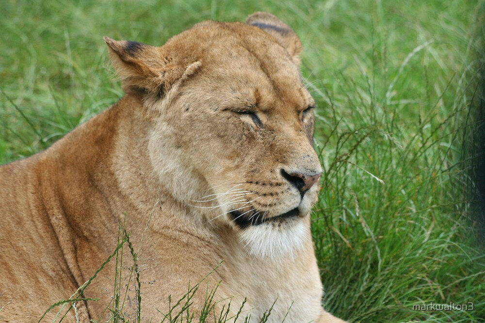 lioness by markwalton3