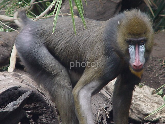 photoj animal monkey S.A. Zoo by photoj