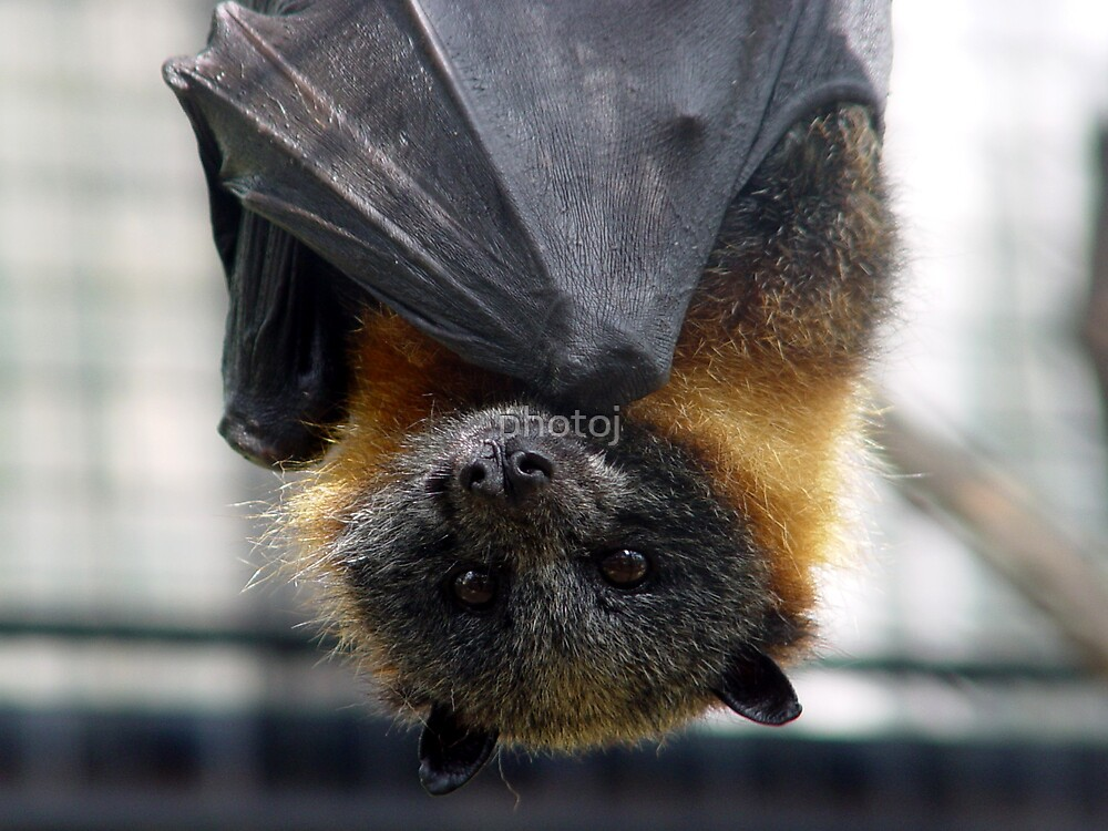 animal-Bat by photoj