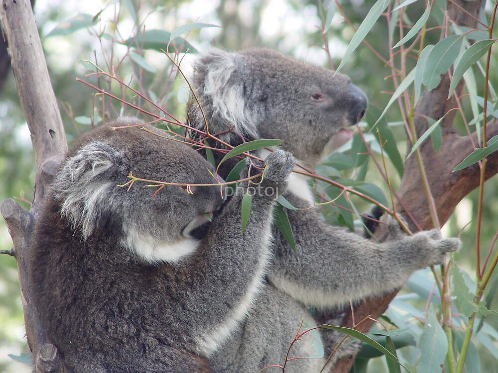 photoj koala bears by photoj