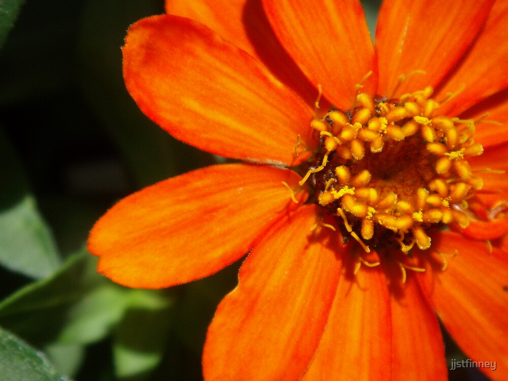 Bright Orange Flower by jjstfinney