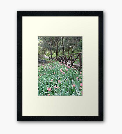 Tulips at Araluen Botanic Park   Framed Print