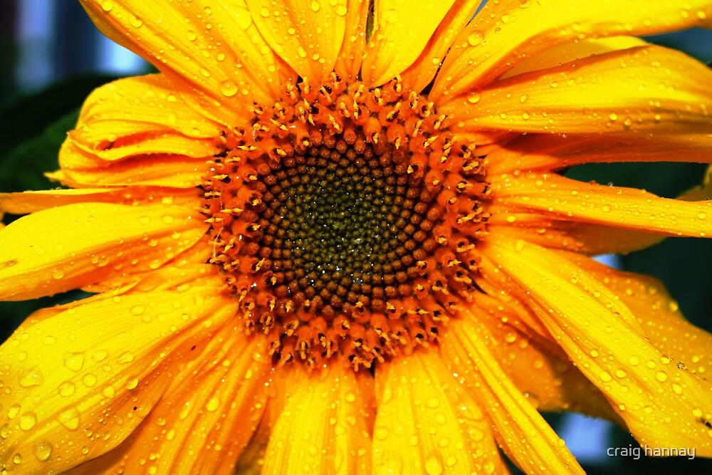 sunflower by craig hannay