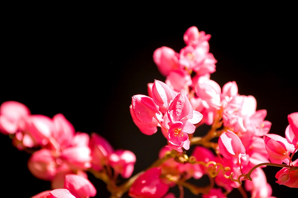 Pink Flowers by Claudio Cologni