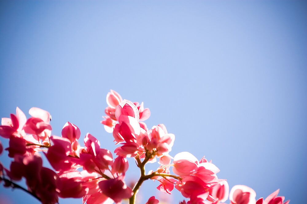 Pink Flowers 2 by Claudio Cologni