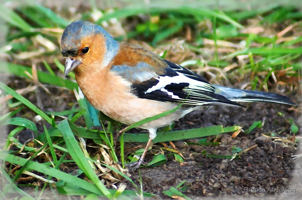 chaffinch, painted by Brenda Anderson