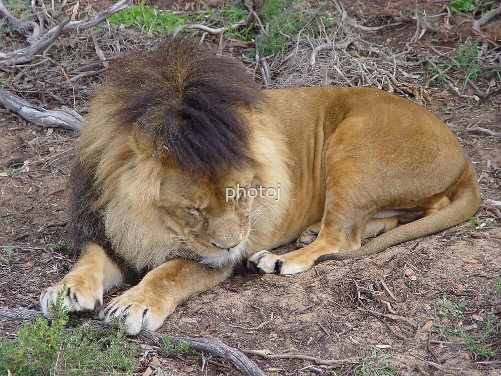 photoj animal-lion by photoj