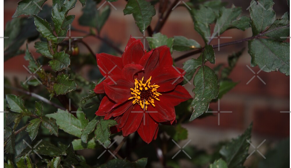 Flower Dark Red by Holly Werner