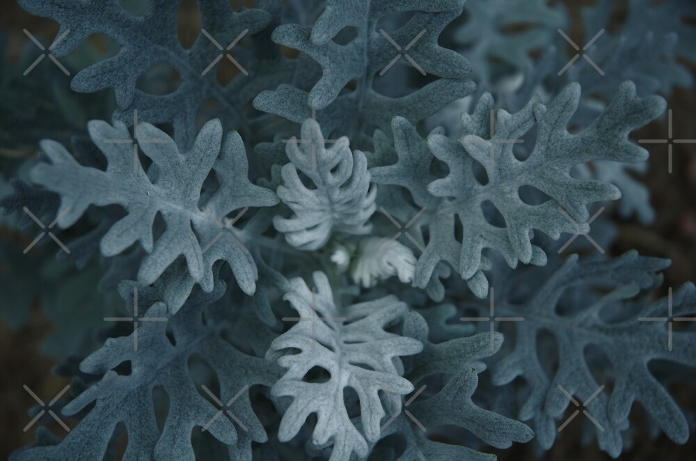 Dusty Miller by Holly Werner