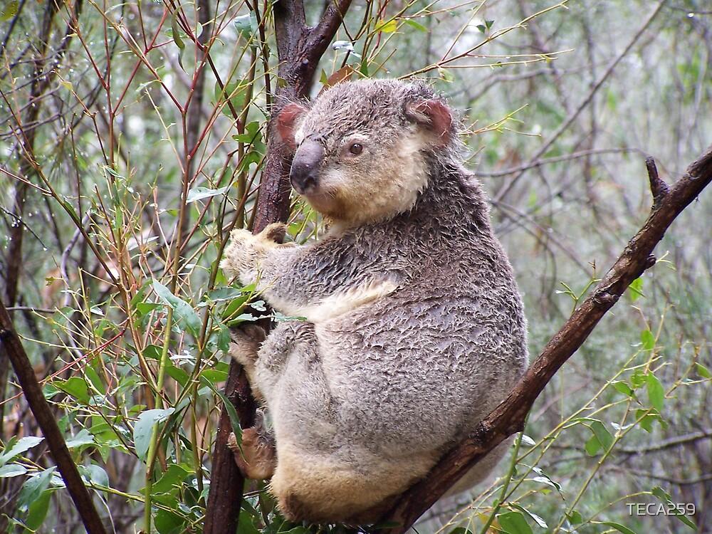 Koala by TECA259