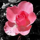 Pink Rose by Jeremy Rohrs