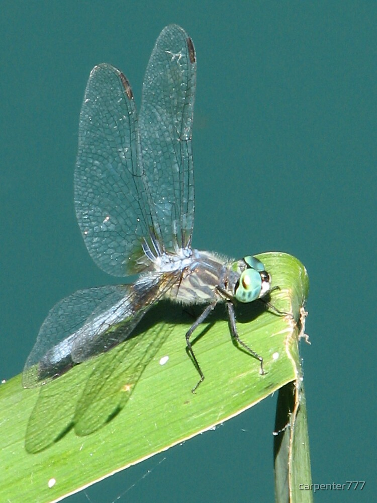 Dragonfly by carpenter777
