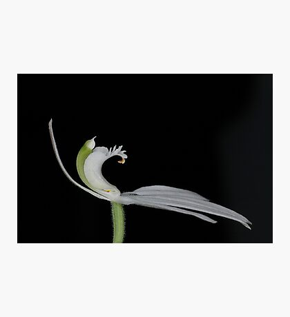 Caladenia catenata Photographic Print