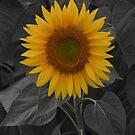 Colby Farms Sunflower #1 by Sam Davis