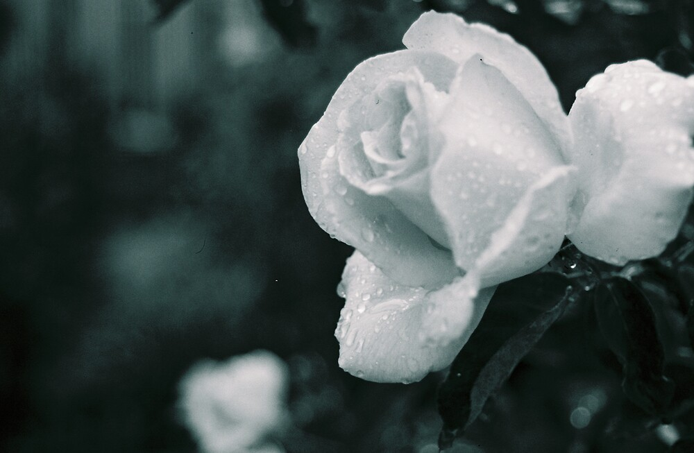 Spring Rose by sillumgungfu